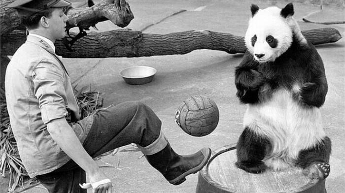 Panda-Fußball: 1598758_FULL-LND (c) Getty Images - Quelle: http://de.fifa.com/newscentre/features/news/newsid=1598896/index.html